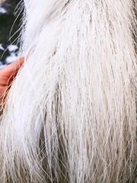 hvid heste hale efter