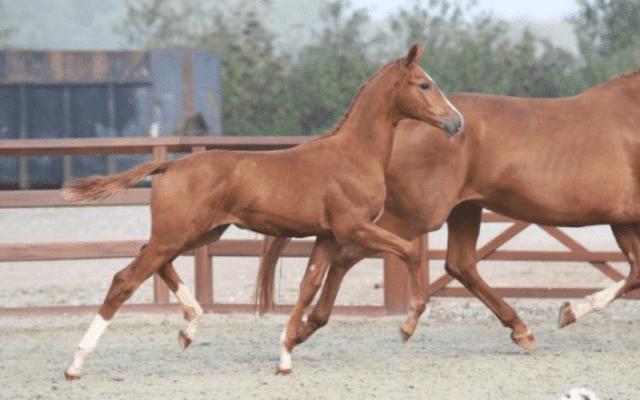 blue horse hoppe føl
