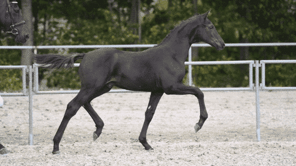 Blue Horse føl