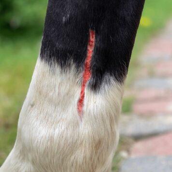 Sår hest før behandling